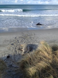 Hooker's sea lions on the beach