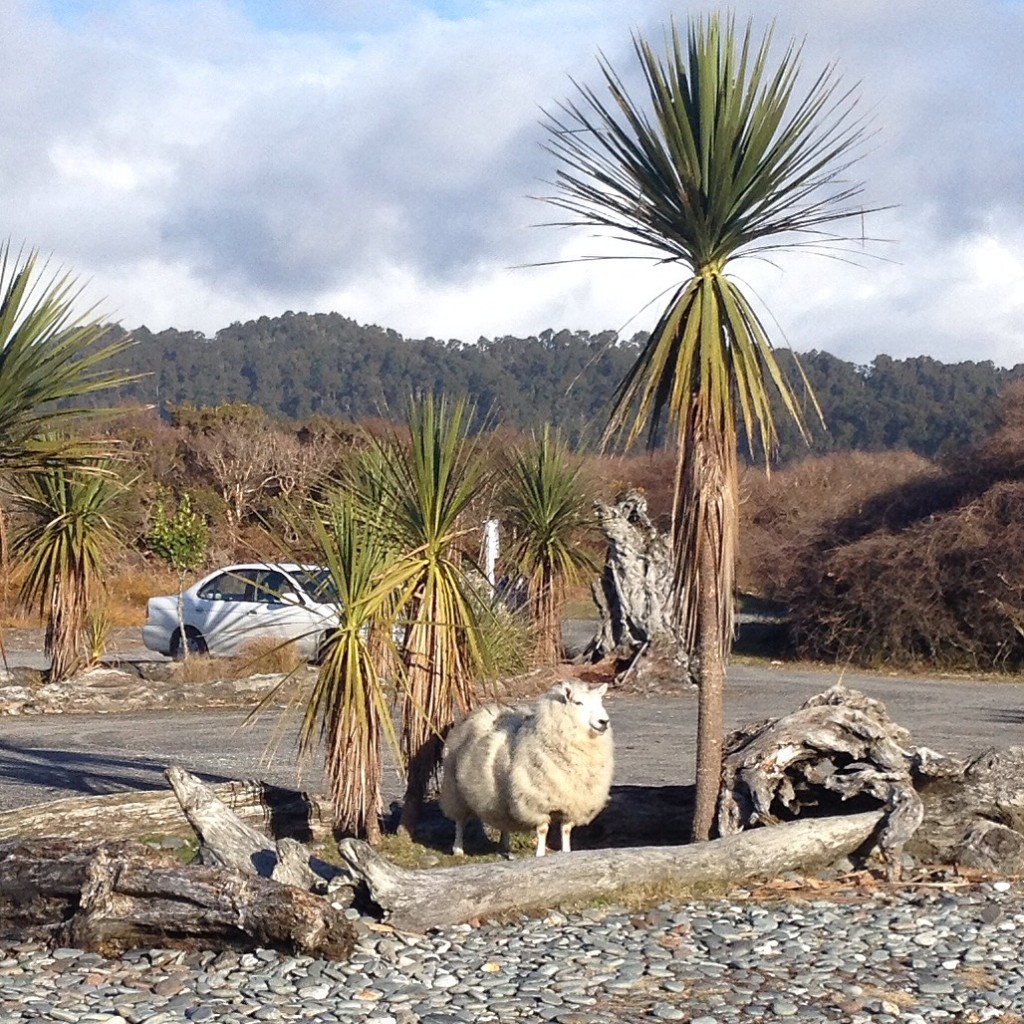 Sheep and palm at Gillespie beach