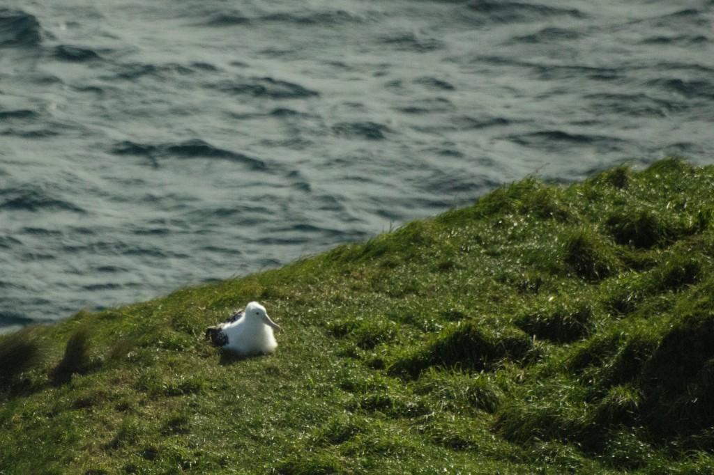 Albatros chick
