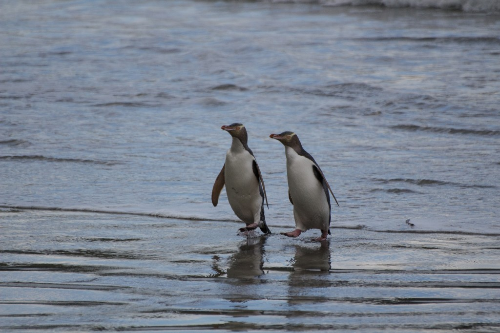 Yellow-eyed penguins waddling ashore