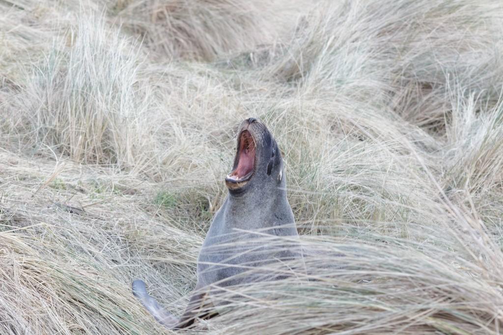 Hooker's sea lion yawning
