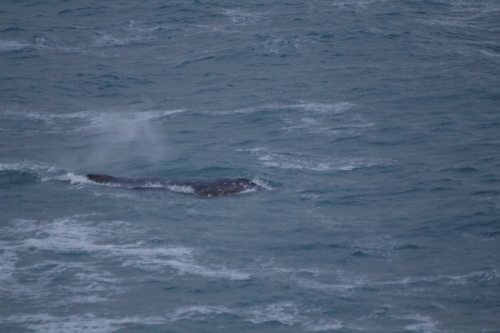 Southern Right whale off Otago Peninsula