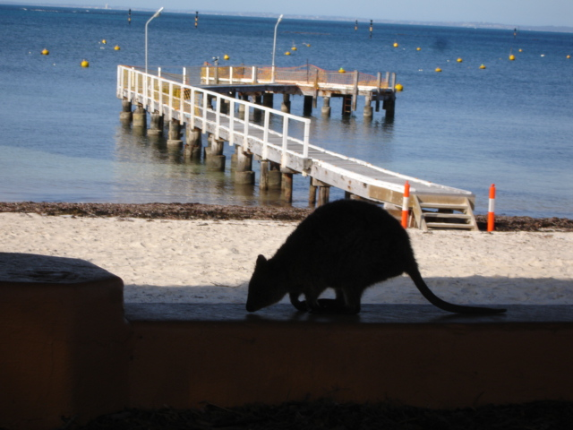 Quokka, Rottnest Island (Australia)