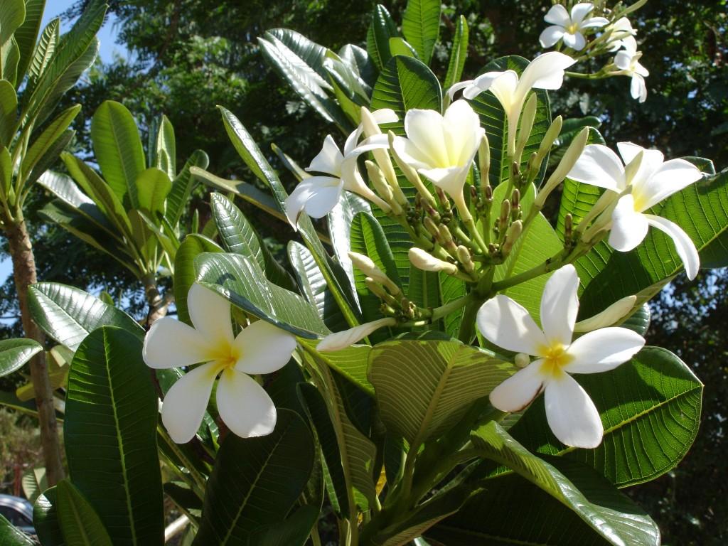 Frangipani flowers, Broome