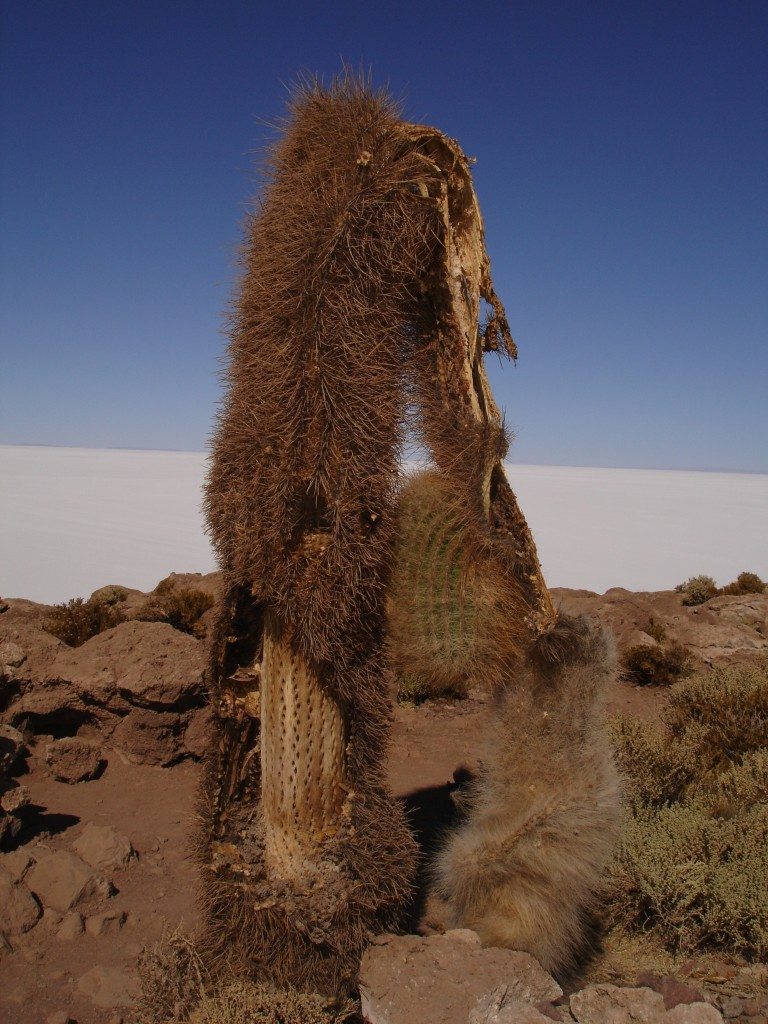 Cactus on an island in the Salar de Uyuní