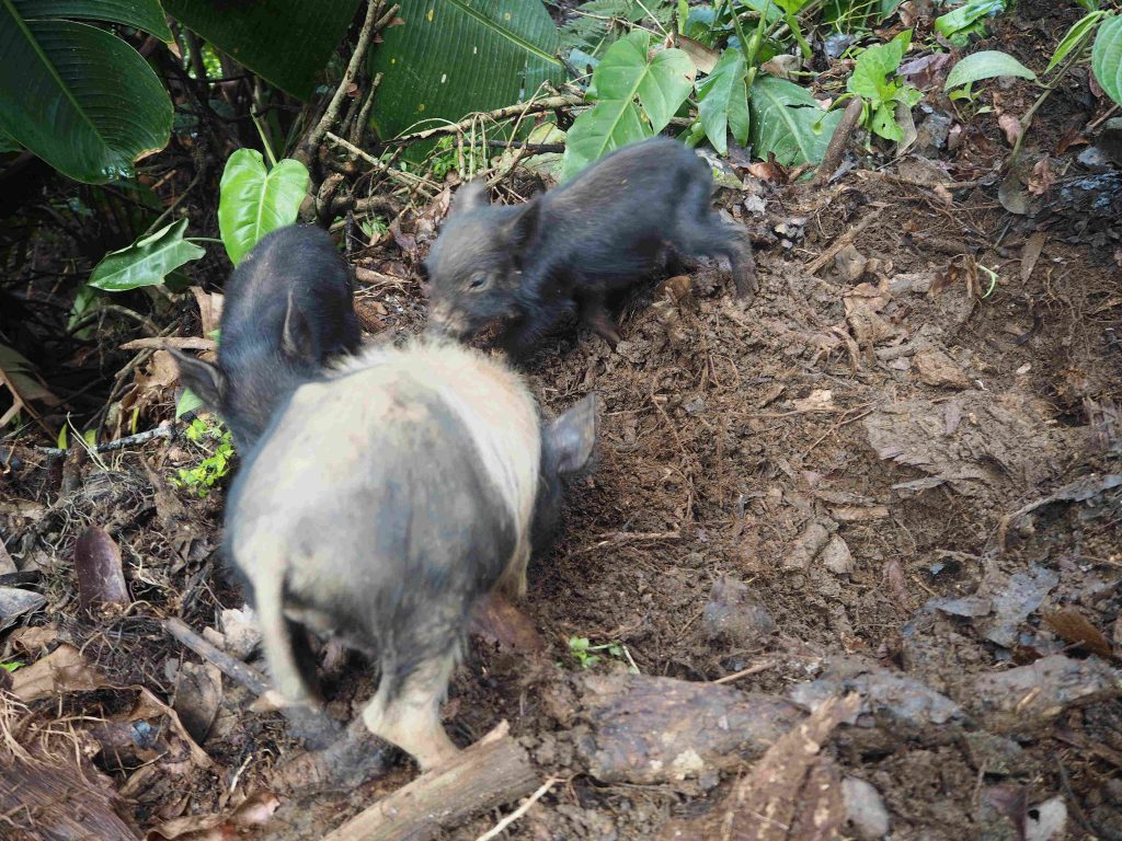 Ciudad Perdida trek Colombia Santa Marta Magdalena piglets