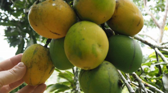 Colombia wild mangoes