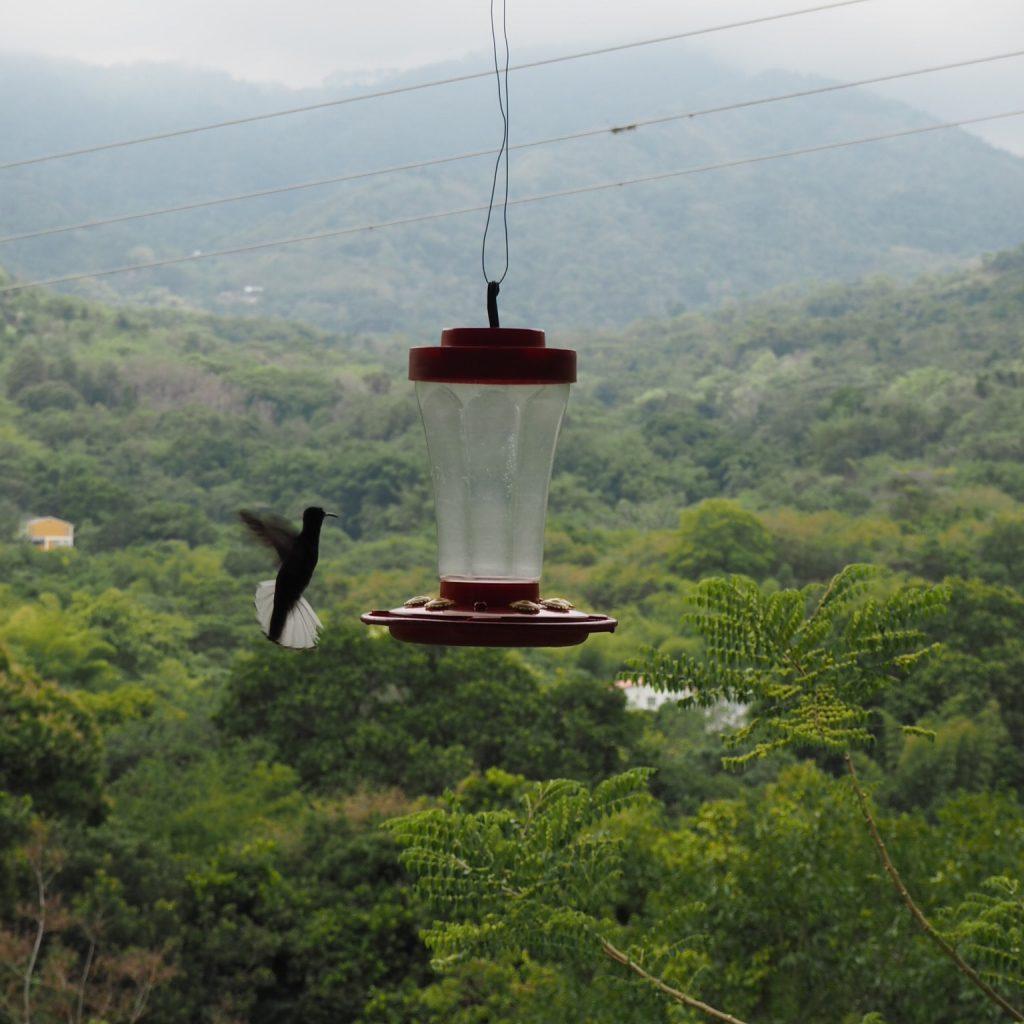 Hummingbird feeding in Minca
